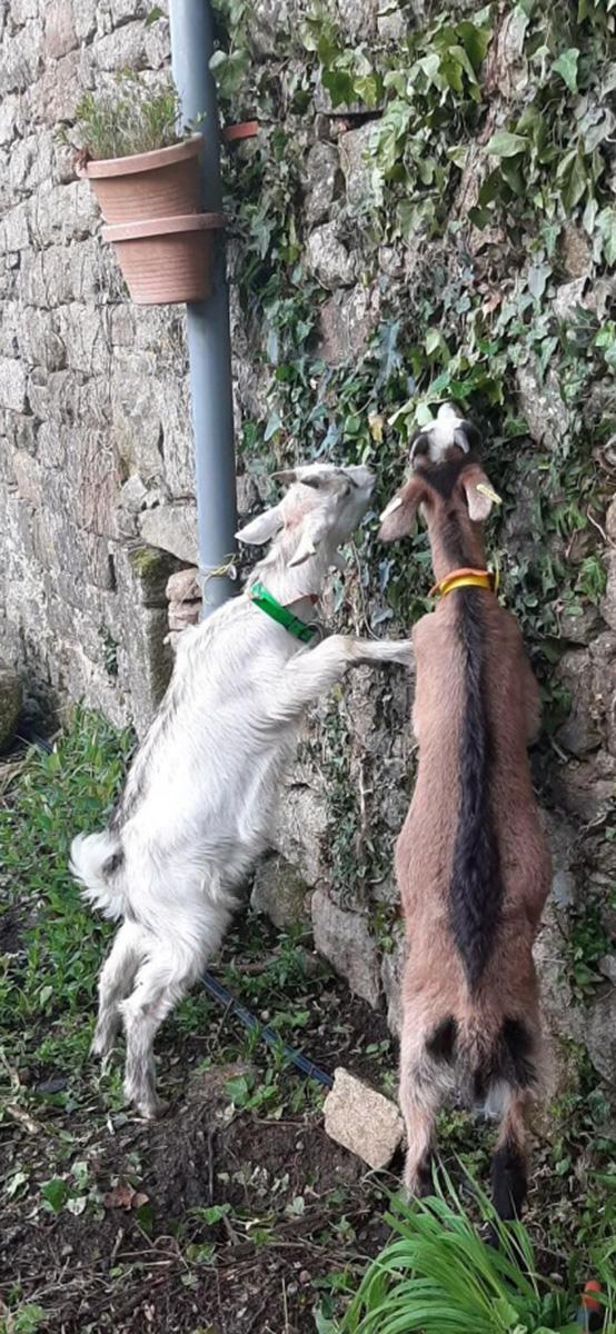 Cheveaux mangent le lierre sur le mur de la longère